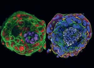 Эмбрионы человека способны развиваться в чашке Петри до 2 недель