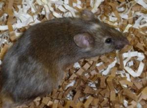 Снижение уровня белка nSR100 в мозге вызвало развитие аутизма у мышей