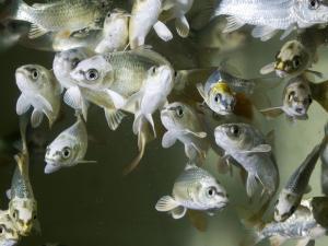 Изучая рыб, ученые установили происхождение жара