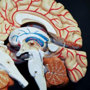 Крошечная часть мозга ответственна за старение